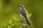 State bird: mocking bird be careful it mocks