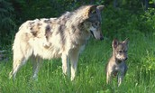How do Tibetan Wolves care for their young?