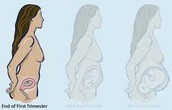 first trimester (months 1-3)