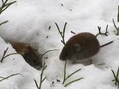 European Snow Vole