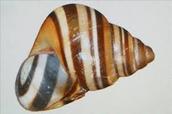 steve irwins snail