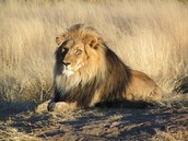 Lions are an endangered species
