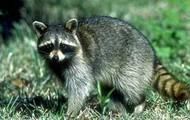 Temperate Rainforest Raccoon