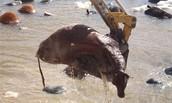 Cattles struggle for life😔😔
