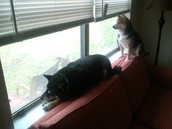 Our Shiba Inu companions.