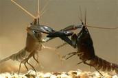 Crayfish Study with Mr. Porter
