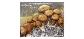 Cultivate Mushrooms with Mushroom Spores