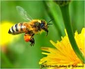 BEE (POLLINATOR)