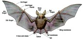 Fun Facts About Bats!