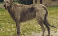 An Irish wolfhound