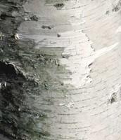 Pioneer Tree