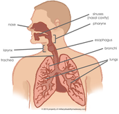 Respiratory System.