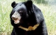Asian Black bears
