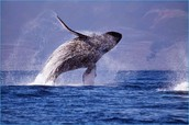 What is the Humpback whale?