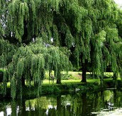 Willow (Weeping Willow)