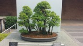 Japenese Elm Bonsai Tree