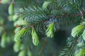 Spruce Tips and Resin -Evergreen Elder!