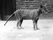 Extinct species: Tasmanian Tiger