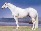 tame horse