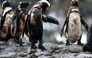 Pingüinos con petroleo.