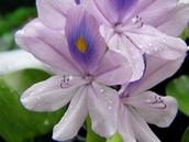 Water Hyacinth .