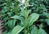 Tobacco's Deadly plant