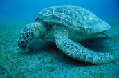 Green Turtle is hungry!