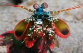 mantis shrimp/ way too close up