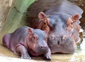 The Sleek Hippos