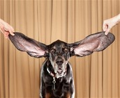 This dog has the biggest ears of any dog!