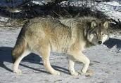 EX.WOLF