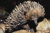 Grown Spiny Anteater