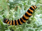 Yellow and black banded caterpillar
