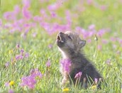 This is a baby wolf