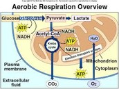 Cellular Respiration 🌍