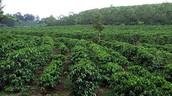 Coffee Bean Farm