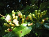 clove buds developing