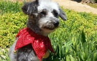 Citation -- 5 yr old, 10 lb Poodle/Yorkie Male