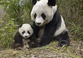 Should artificially breeding pandas be considered ethical?