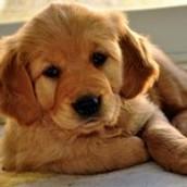 Yo soy un labrador bebe y soy muy juguetón.