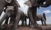 Gray Elephants
