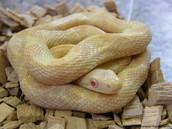 Rat snake camouflaged for desert like terrain.