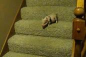 Hamlet the Mini Pig