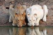 Lions are beutiful