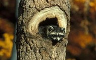 Raccoon in a hollow tree