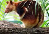 interesting facts about tree kangaroos
