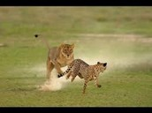 cheetahs and lions