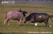 Water Buffalo's fighting