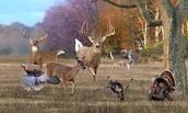 deer and turkeys conbind