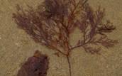 Alga Roja